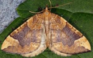 Eulithis populata 06 2