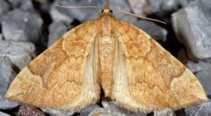 Eulithis populata 06 3