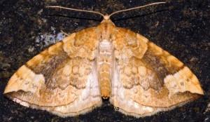 Eulithis populata 09 1