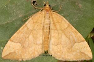 Eulithis populata 48 1