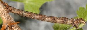 Eulithis prunata L4 4