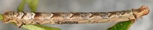 Eulithis prunata L5 2