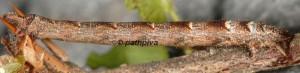 Eulithis prunata L5 3