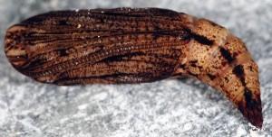Eulithis prunata p 1