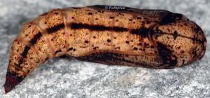 Eulithis prunata p 2