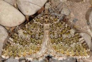 Euphyia frustata 06 1