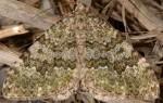 Euphyia frustata 06 2