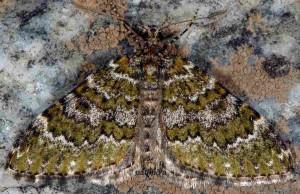 Euphyia frustata 38 1