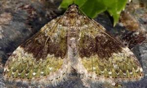 Euphyia frustata 66 1