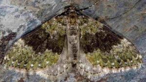 Euphyia frustata 66 2