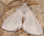 Euproctis chrysorrhoea (I, L5)