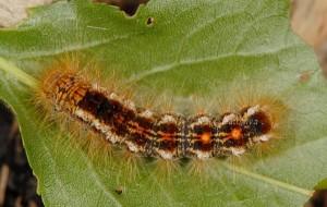 Euproctis chrysorrhoea L5 2