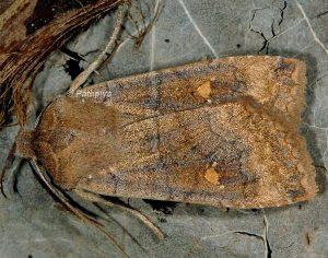Eupsilia transversa 2
