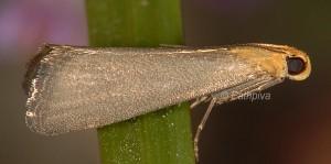 Eurhodope cirrigerella 06 1