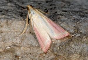 Eurhodope rosella 06 1