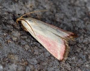 Eurhodope rosella 06 2