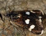 Eurrhypis guttulalis 66 2