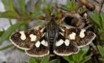 Eurrhypis pollinalis 06 1