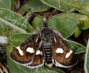 Eurrhypis pollinalis 06 2