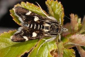 Eurrhypis pollinalis 66 1