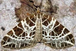 Eustroma reticulata 38 1