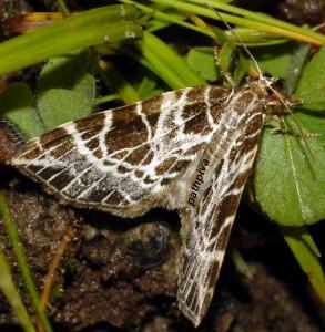 Eustroma reticulata 38 2