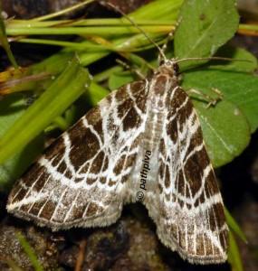 Eustroma reticulata 38 3