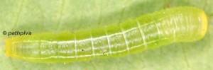 Eutelia adulatrix L3 2
