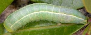 Eutelia adulatrix L5 1