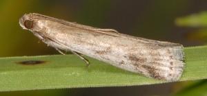 Euzophera cinerosella 06 1