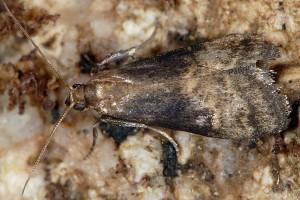 Euzophera fuliginosella 83 1