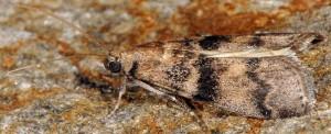 Euzophera pinguis 06 1