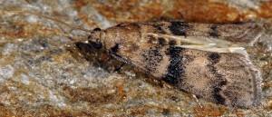 Euzophera pinguis 06 2