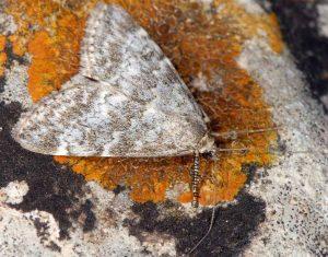 Evergestis sophialis 06 3