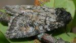 Evisa schawerdae (I, L5)