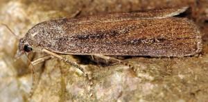 Friedlanderia cicatricella 2B 1