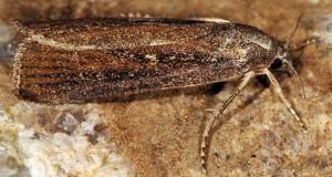 Friedlanderia cicatricella 2B 2