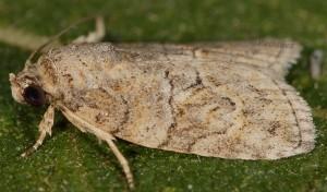 Garella nilotica 1