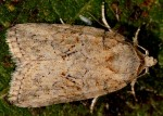 Garella nilotica (I)