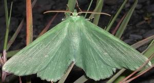 Geometra papilionaria 05 1
