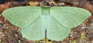 Geometra papilionaria 06 1
