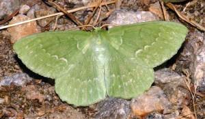 Geometra papilionaria 09 1