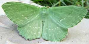 Geometra papilionaria 38 1