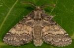 Gluphisia crenata (I)