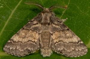Gluphisia crenata 1