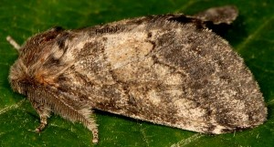 Gluphisia crenata 2