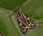 Grammia quenseli (I, L5, P)