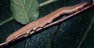 Grammodes bifasciata L5