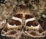 Grammodes stolida (I)