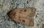 Graphiphora augur (I)